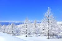 霧ケ峰高原 霧氷のカラマツ林 11076031754| 写真素材・ストックフォト・画像・イラスト素材|アマナイメージズ