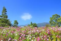 国営アルプスあづみ野公園のコスモス畑と常念岳