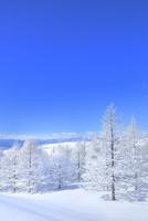 霧ケ峰高原 霧氷のカラマツ林 11076031846| 写真素材・ストックフォト・画像・イラスト素材|アマナイメージズ