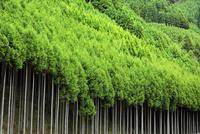 北山杉の林