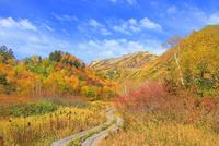 栂池自然園の紅葉と木道 11076031869| 写真素材・ストックフォト・画像・イラスト素材|アマナイメージズ