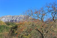 紅葉の大山と実る柿