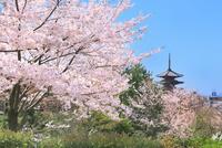 八坂の塔とサクラに京都市街