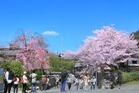 サクラ咲くねねの道に観光客