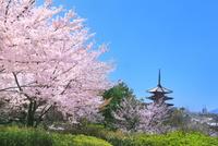 八坂の塔とサクラに京都市街 11076031983| 写真素材・ストックフォト・画像・イラスト素材|アマナイメージズ