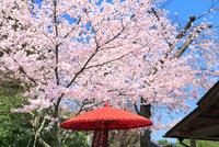 京都 赤い番傘にサクラ
