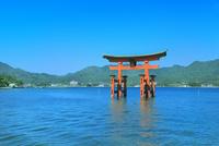 宮島 厳島神社の大鳥居 11076032011| 写真素材・ストックフォト・画像・イラスト素材|アマナイメージズ