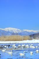 安曇野御宝田遊水地の白鳥と北アルプス(蓮華岳)