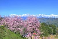 桜咲く立屋集落と残雪の北アルプス(爺ヶ岳・鹿島槍・五竜岳)