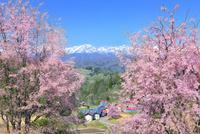 桜咲く立屋集落と残雪の北アルプス(鹿島槍・五竜岳)