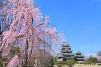 松本城本丸庭園の枝垂桜と天守閣に北アルプス(常念岳)