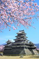松本城天守閣と桜