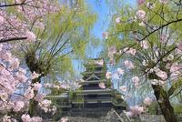 松本城天守閣と桜に柳
