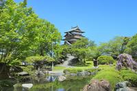 新緑の高島城(諏訪の浮城) 城内公園より天守閣とフジ咲く心字池