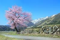 白馬山麓に咲く一本桜と残雪の天狗岳