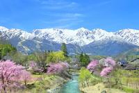 桜咲く白馬大出の姫川と白馬三山