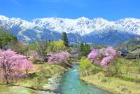 桜咲く白馬大出の姫川と白馬三山 11076032110| 写真素材・ストックフォト・画像・イラスト素材|アマナイメージズ