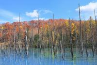 美瑛 青い池の紅葉 11076032125| 写真素材・ストックフォト・画像・イラスト素材|アマナイメージズ