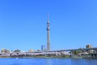 隅田川のサクラとスカイツリー