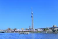 隅田川のサクラとスカイツリーに観光船