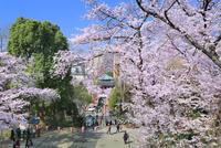 上野公園のサクラと弁天堂
