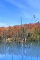 美瑛 青い池の紅葉 11076032217| 写真素材・ストックフォト・画像・イラスト素材|アマナイメージズ