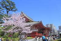 浅草寺とサクラ