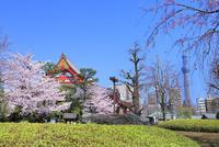 浅草寺のサクラとスカイツリー