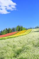 ファーム富田 彩りの畑(カスミソウ)