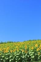 四季彩の丘 ヒマワリの花畑