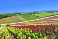 四季彩の丘 キンギョソウの花畑と大雪山(旭岳)