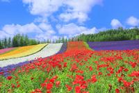 ファーム富田 彩りの畑(ポピー,ラベンダー)
