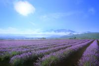 ラベンダーイースト ラベンダーの花畑と十勝連峰に朝霧