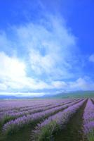 ラベンダーイースト ラベンダーの花畑と朝霧