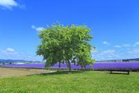 ラベンダーイースト ラベンダーの花畑と緑木