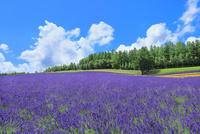 彩香の里 ラベンダーの花畑と入道雲