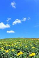 かんのファーム 花畑(マリーゴールド)  11076032275| 写真素材・ストックフォト・画像・イラスト素材|アマナイメージズ