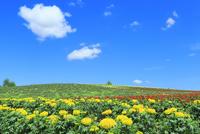 かんのファーム 花畑(マリーゴールド)  11076032276| 写真素材・ストックフォト・画像・イラスト素材|アマナイメージズ