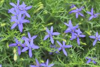 イソトマの花(流星花)