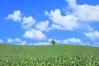 美瑛 トウモロコシ畑の丘と緑木