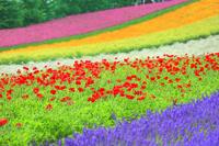 ファーム富田 花畑(ラベンダー,ポピー)