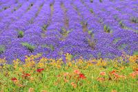 ファーム富田 へメロカリスとラベンダーの花畑
