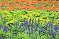 フラワーランド 花畑(サルビア,マリーゴールド)