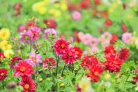 フラワーランド ダリアの花畑