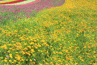 四季彩の丘 ハナビシソウの花畑