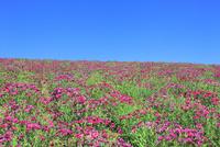 四季彩の丘 ナデシコの花畑