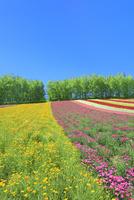 四季彩の丘 花畑(ハナビシソウ,ナデシコ)