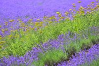 ファーム富田 キバナノコギリソウとラベンダーの花