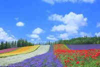 ファーム富田 彩りの畑(カスミソウ,アゲラタム,ポピー)