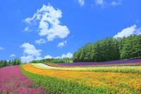 ファーム富田 彩りの畑(コマチソウ,カルフォルニアポピー)